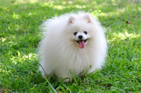 white and pomeranian pomeranian pictures photos pics