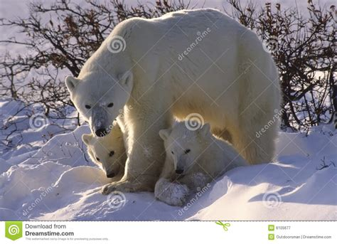 polar bears royalty free stock photography image 6105677