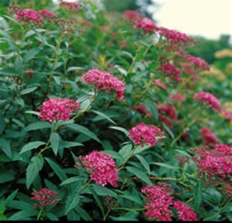 low growing flowering shrubs for sun shrubs clean leaf tree care