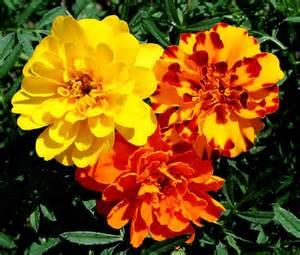mami made it october birth flower blume des marigolds the magnificent birth flower of october avas