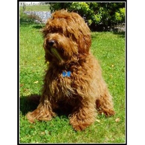 labradoodles puppies for sale scotland tora s australian labradoodles labradoodle breeder in