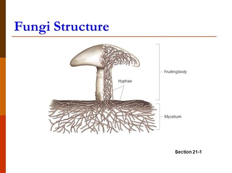 fungi diagram the kingdom fungi chapter ppt