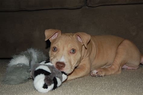 10 week pitbull puppy pitbull puppy pictures 12 weeks hd breeds picture