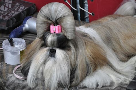 shih tzu prices fantasia shih tzu