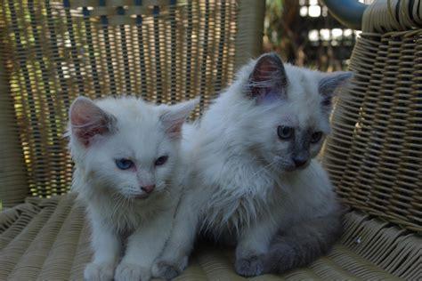 1 2 breed ragdoll kittens for sale breed ragdoll kittens