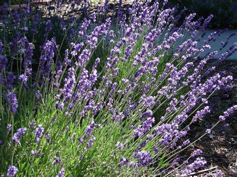 lavanda fiore significato lavanda linguaggio dei fiori lavanda linguaggio dei