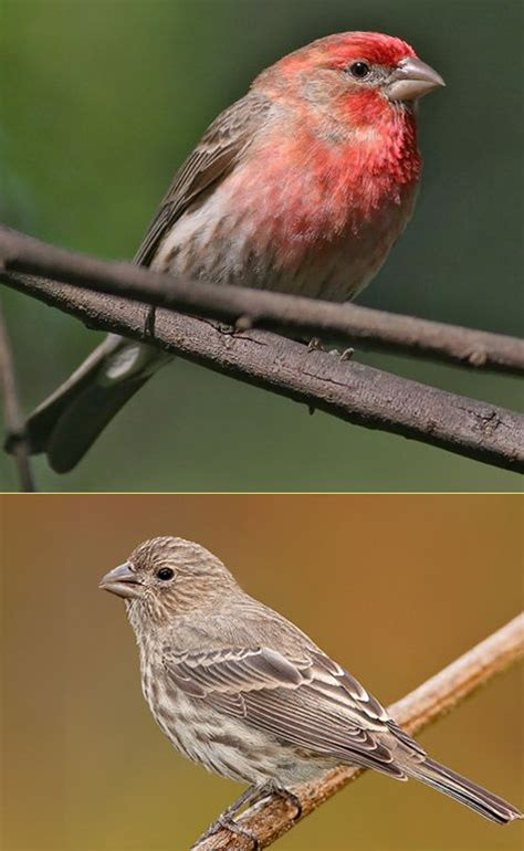 house finch house finches  small bodied finches