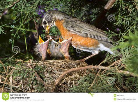 pettirosso alimentazione uccellini implumi d alimentazione americani pettirosso