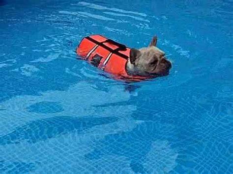 Pinks Bulldog Drowns In Pool by Bulldog Swimming In The Pool