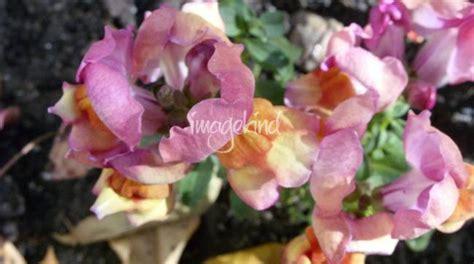 Sale Curly Flower Ungu Pink lizmix s stunning artwork for sale on prints
