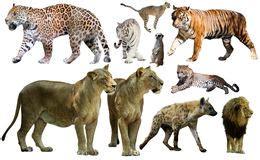 sistema de mam 237 feros depredadores aislado sobre blanco sistema de animales depredadores aislado sobre blanco