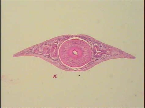cross section of planaria phylum platyhelminthes biology 112 with godsel at loyola