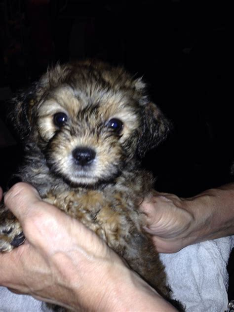 teddy puppies for sale in teddy bichon rescue dogs breeds picture