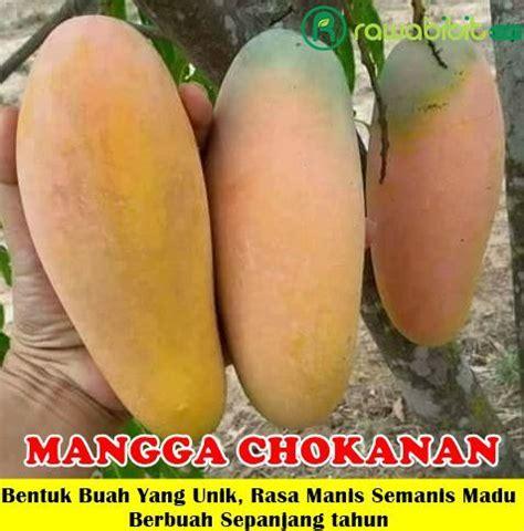 Budidaya Mangga Varietas Unggul bibit mangga chokanan 70 cm jualbenihmurah