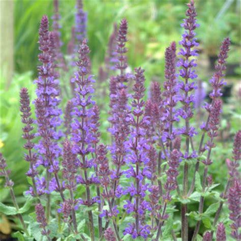 salvia superba 'blue queen' dorset perennials