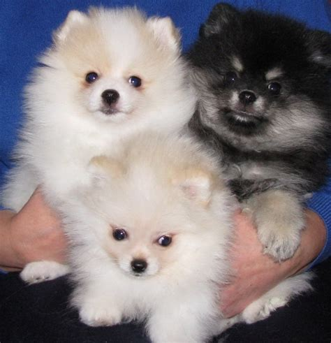 pomeranian puppies for sale in wv pomeranian puppies for sale charleston wv 254616