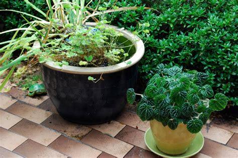 gardenia radicans dwarf