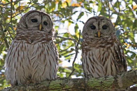 barred owl birds of quail valley and fort bend