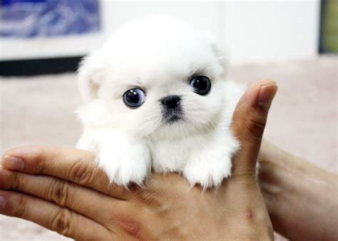 teacup pekingese puppies for sale pin by peke on peke