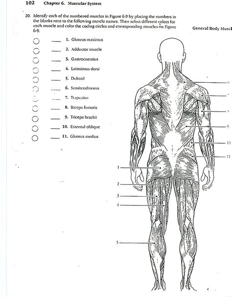 anatomy and physiology coloring workbook answers page 182 anatomy and physiology coloring workbook muscles