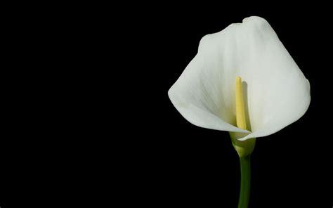 free wallpaper calla lily