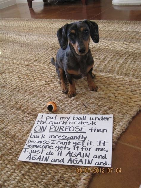 dog shaming desk benny does this exact same thing i ve stuffed towels