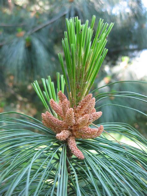 fiori di bach pine il giardino della terra pine fiore di bach n 24