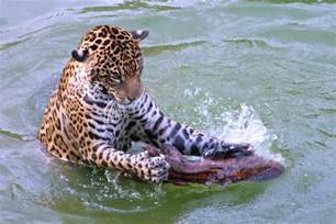 Water Jaguars Jaguar In Water Who Says Cats Dont Like Water