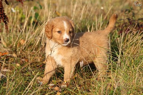 golden retriever puppies for sale in scotia puppies for sale in the uk golden retriever puppies for sale breeds picture