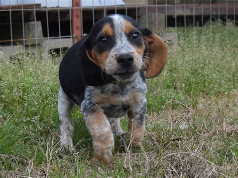 blue beagle puppies blue beagle puppies breeds puppies advantages and disadvantages of blue