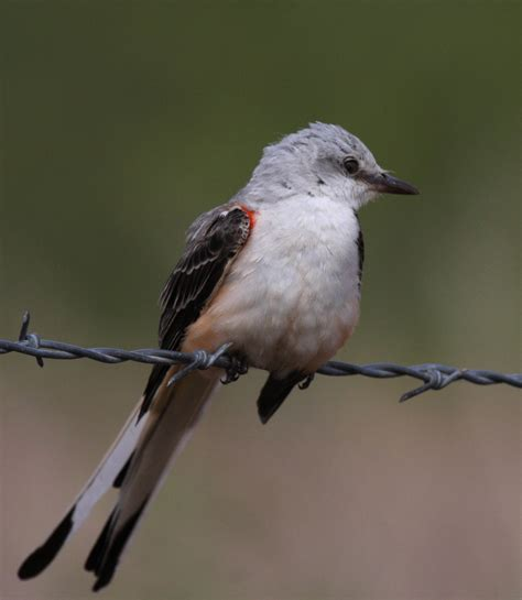 fred walsh photos scissor tailed flycatcher