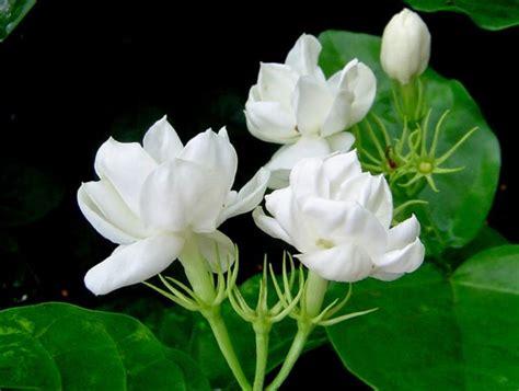 Top Melati Top 10 gambar bunga melati putih gambar top 10
