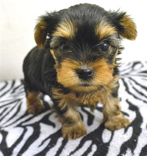 yorkie rescue atlanta yorkie puppies for free adoption in breeds picture