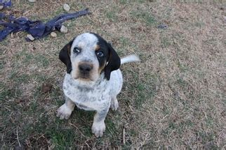 bluetick coonhound puppies for sale in view ad bluetick coonhound puppy for sale oklahoma bristow usa