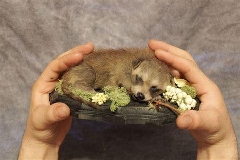 vulture taxidermy ebay taxidermy sleeping baby raccoon mount real lifesize adorable opossum soft ebay taxidermy