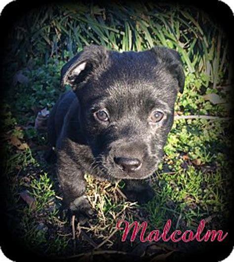 shih tzu rescue australia denver nc australian shepherd shih tzu mix meet malcolm a puppy for adoption