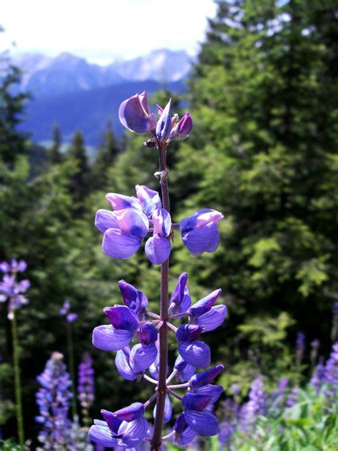 fiori di montagna foto fiori di montagna by rusti juzaphoto