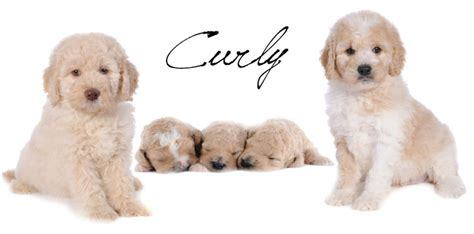 Goldendoodle Hair Types by Coat Types Teddybear Goldendoodles