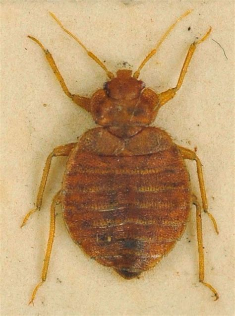 are bed bugs flat bed bug the study