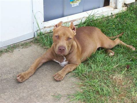 pitbull facts all about animal wildlife american pitbull information and photos 2012