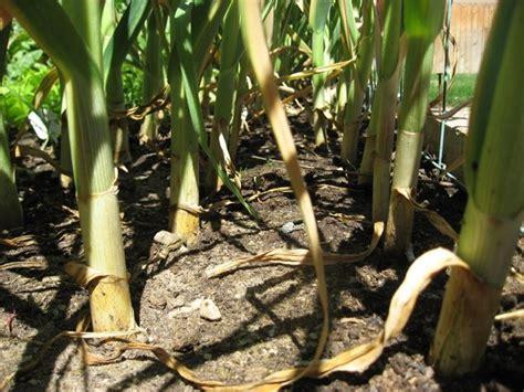 coltivazione aglio in vaso coltivazione aglio coltivazione ortaggi come coltivare