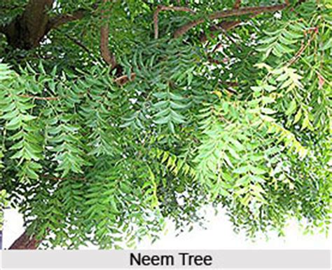Neem Tree Essay by Neem Tree Essay Neem Tree Essay Admission Writing Service Neem Tree Essay Neem Tree Essay