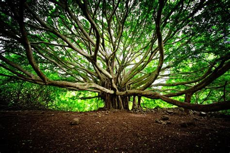 banyan tree bank das geheime leben der b 228 ume pravda tv lebe
