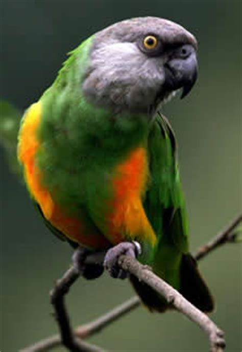 senegal parrot facts, pet care, housing, feeding, pictures