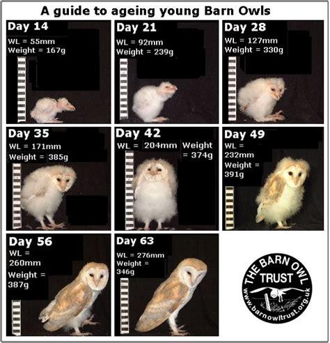 Barn Owl Lifespan mods how is your barn owl