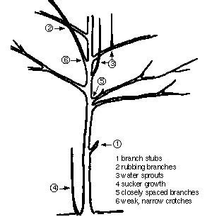 how to trim the back when going for short hair on the sides pruning trees and shrubs umn extension