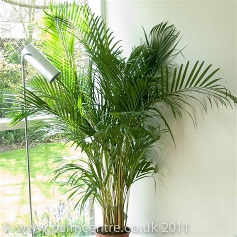 palm trees for sale dypsis lutescens butterfly palm tree for sale from palm