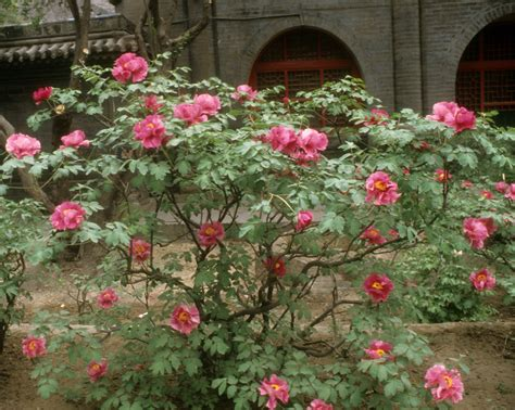 the 400 year old tree peonies of taiyuan crickethillgarden