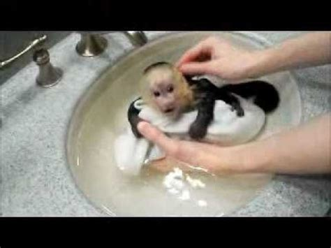 monkey in a bathtub capuchin monkey frankie takes a bath youtube