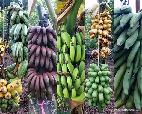 guide to six different types of bananas the return of panama disease ferrebeekeeper